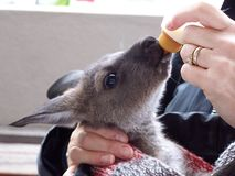Baby grey kangaroo. A baby grey kangaroo feeding royalty free stock photos