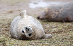 Baby grey seal stock images