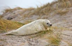 Baby grey seal Stock Image