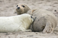 Baby Grey seal Stock Photography