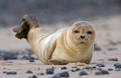 Baby grey seal. Lying in the sand Stock Photo