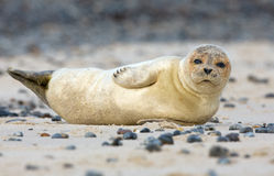 Baby grey seal. Lying in the sand Royalty Free Stock Images