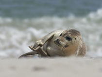 Baby grey seal clapping at the beach at dune, helgoland, germany. Close up of baby grey seal (Halichoerus grypus) lies on the sand and is clapping at the beach stock images