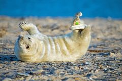 Baby grey seal relaxing on the beach. Baby grey seal grypus halichoerus relaxing on the beach Royalty Free Stock Photo