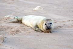 Baby grey seal relaxing on the beach. Baby grey seal grypus halichoerus relaxing on the beach Royalty Free Stock Photos