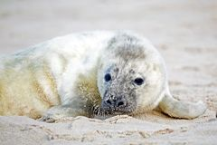 Baby grey seal relaxing on the beach. Baby grey seal grypus halichoerus relaxing on the beach Stock Images