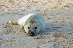 Baby grey seal relaxing on the beach. Baby grey seal grypus halichoerus relaxing on the beach Stock Image