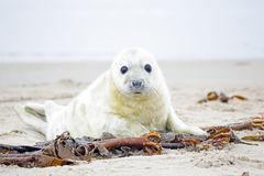 Baby Grey Seal (Halichoerus grypus) on the beach Stock Photo