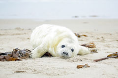 Baby Grey Seal (Halichoerus grypus) on the beach Stock Images