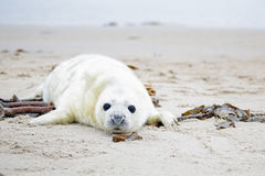 Baby Grey Seal (Halichoerus grypus) on the beach Stock Image