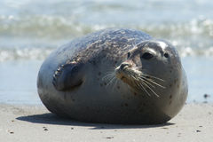 Baby grey seal moving forward at the beach at dune, helgoland, germany. Close up of gray seal (Halichoerus grypus) at the beach at Dune, Helgoland, Germany royalty free stock images