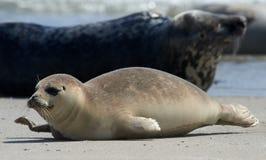 Baby grey seal moving forward at the beach at dune, helgoland, germany. Close up of baby gray seal (Halichoerus grypus) moving forward at the beach at Dune royalty free stock photos