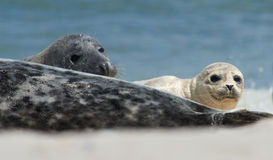 Baby grey seal moving forward at the beach at dune, helgoland, germany. Close up of baby gray seal (Halichoerus grypus) between adults at the beach at Dune royalty free stock images