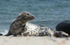 Baby grey seal moving forward at the beach at dune, helgoland, germany. Close up of gray seal (Halichoerus grypus) turning head backwards at the beach at Dune royalty free stock image