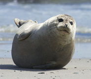 Baby grey seal moving forward at the beach at dune, helgoland, germany Stock Photo
