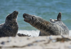 Baby grey seal moving forward at the beach at dune, helgoland, germany. Close up of pair of gray seals (Halichoerus grypus) communicating at the beach at Dune stock photo