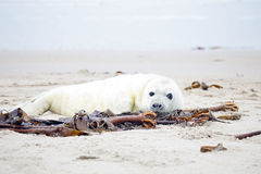 Baby Grey Seal relaxing on the beach Stock Images
