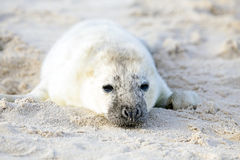 Baby Grey Seal relaxing on the beach Royalty Free Stock Photos