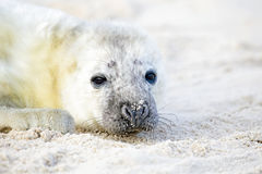 Baby Grey Seal relaxing on the beach Royalty Free Stock Images