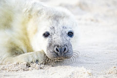 Baby Grey Seal relaxing on the beach Royalty Free Stock Photography
