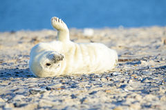 Baby Grey Seal relaxing on the beach Stock Photo