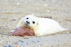 Baby Grey Seal relaxing on the beach Royalty Free Stock Image