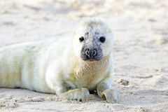 Baby Grey Seal relaxing on the beach Stock Image