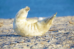 Baby Grey Seal relaxing on the beach Royalty Free Stock Photo