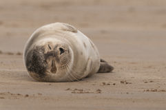 Baby Grey Seal Snoozing. A young grey seal pup having a snooze on the broad sandy banks off shore at Donna Nook in Lincolnshire Royalty Free Stock Image