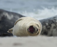 Baby grey seal yawn at the beach at dune, helgoland, germany Royalty Free Stock Images