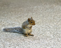 Baby Grey Squirrel. Cute Baby Grey Squirrel sitting on haunches, front paws together and back paws splayed stock photo