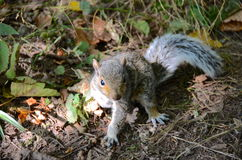 A baby grey squirrel. A cute baby grey squirrel royalty free stock photography