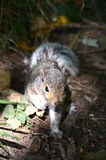 A baby grey squirrel. A cute baby grey squirrel royalty free stock photos