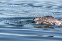 Baby grey whale nose at sunset in pacific ocean. Newborn grey whale calf nose and eye in baja california stock images