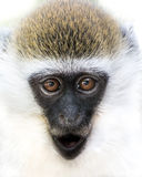 Baby Grivet Monkey III. Frontal Portrait of a Baby Grivet Monkey with Gaping Mouth royalty free stock images