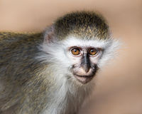 Baby Grivet Monkey IV. Frontal Portrait of a Baby Grivet Monkey Stock Photo