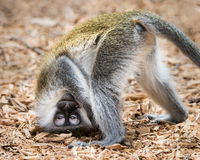Baby Grivet Monkey IV. Baby Grivet Monkey Looking Upside Down Royalty Free Stock Photography