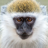 Baby Grivet Monkey IX. Frontal Portrait of Baby Grivet Monkey royalty free stock photography