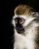 Baby Grivet Monkey. 3/4 Portrait of a Baby Grivet Monkey stock images