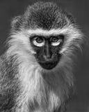 Baby Grivet Monkey V Royalty Free Stock Photo