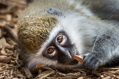Baby Grivet Monkey VI. Frontal Portrait of a Baby Grivet Monkey Lying Down Royalty Free Stock Photography
