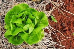 Baby groene salade op soja Stock Foto