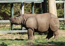 Baby Grotere één-gehoornde rinoceros in Chester Zoo Stock Afbeeldingen