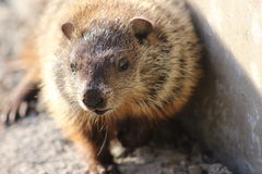 Baby ground hog Royalty Free Stock Images