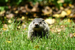 Baby ground hog in the grass Stock Image