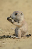 Baby ground squirrel. Taken on its first day of leaving the nest royalty free stock photos