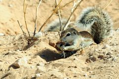 Baby ground squirrel in the Kgalagadi Transfrontier National Park. A baby ground squirrel shelters under the shade of its tail, as it forages for food, in the royalty free stock photos