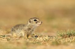 Baby ground squirrel Royalty Free Stock Photo