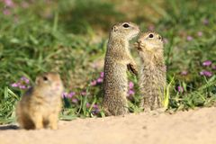 Baby ground squirrels Stock Photo