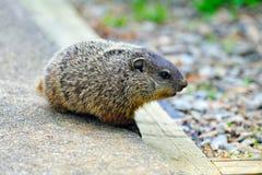 Baby Groundhog stock photos